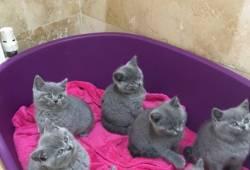 Gccf registreeritud Briti lühikesed kassipojad