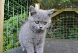 Bsh *pedigree Kittens*