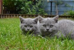 Bsh *pedigree Kittens*