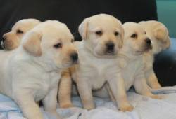 Labradori retriiveri kutsikad